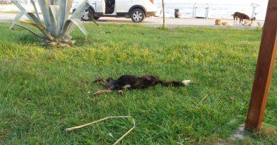 Gemsaz'da Parçalanan Köpekte Satanist Ayin İddiası